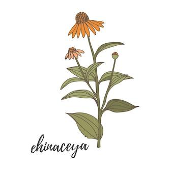 Handgetekende vectortekening in zwarte omtrek wilde kruiden ehinaceya bloemen