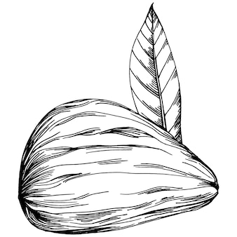 Hazelnoot, hazelnoot, cobnut handgetekende vectorillustratie geïsoleerd op een witte achtergrond. boerderijproduct in retrostijl voor restaurantmenu, marktetiket, logo, embleem en keukenontwerp. decoratie voor voedsel.