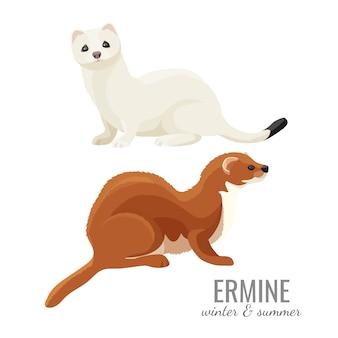 Hermelijnen in de winter en de zomer met witte en bruine vacht.
