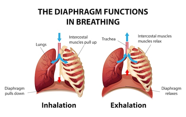 Het middenrif functioneert bij de ademhaling