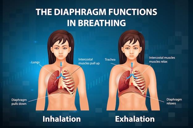 Het middenrif functioneert tijdens het ademen