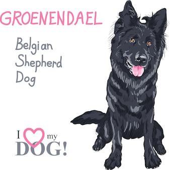 Hond belgische herdershond, ras groenendael