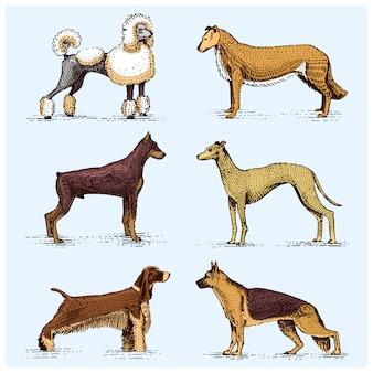Hondenrassen gegraveerd, hand getekende illustratie in houtsnede krasstijl, vintage tekening soorten. pug and setter, poedel met spitz, springer spaniel whippet hound doberman, herder.