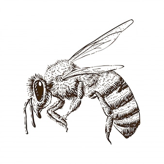 Honey bee engraving illustration