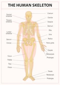 Hoofdonderdelen van het skelet