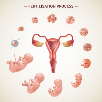 Human fertilization process poster
