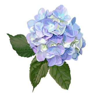 Hydrangea hortensiabloem op wit
