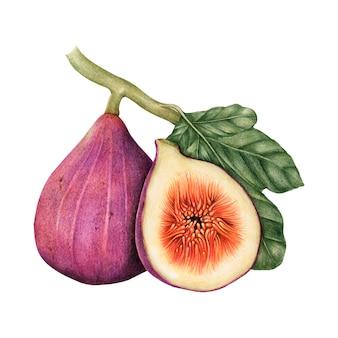 Illustratie-tekeningstijl van fig
