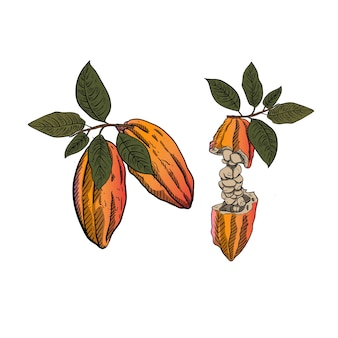 Illustratie van cacaobonen met de groene stijl van de bladgravure