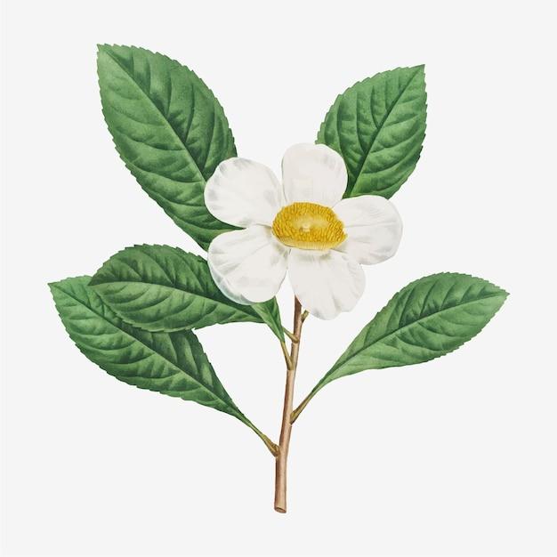 Illustratie van gordonia pubescens of franklinia