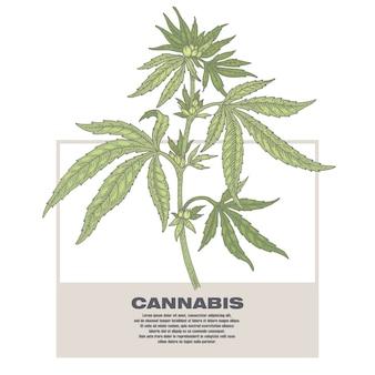 Illustratie van medische kruiden cannabis.