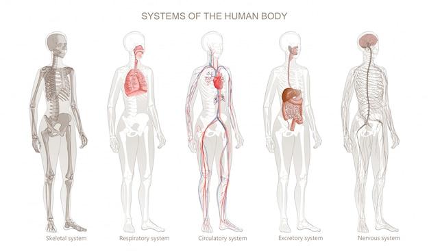 Illustratie van menselijk lichaamssystemen: bloedsomloop, skelet, zenuwstelsel, spijsvertering, integrumentary, exocriene, ademhalingssystemen. het geïsoleerde beeld van gemiddelde lengte van bevindende vrouw op witte achtergrond.