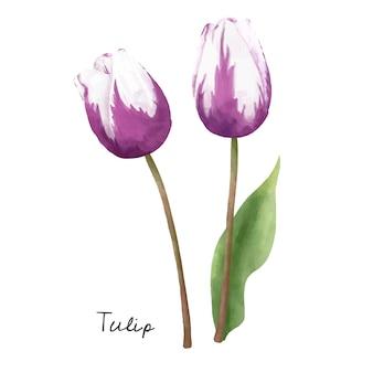Illustratie van tulpenbloem op witte achtergrond wordt geïsoleerd die.