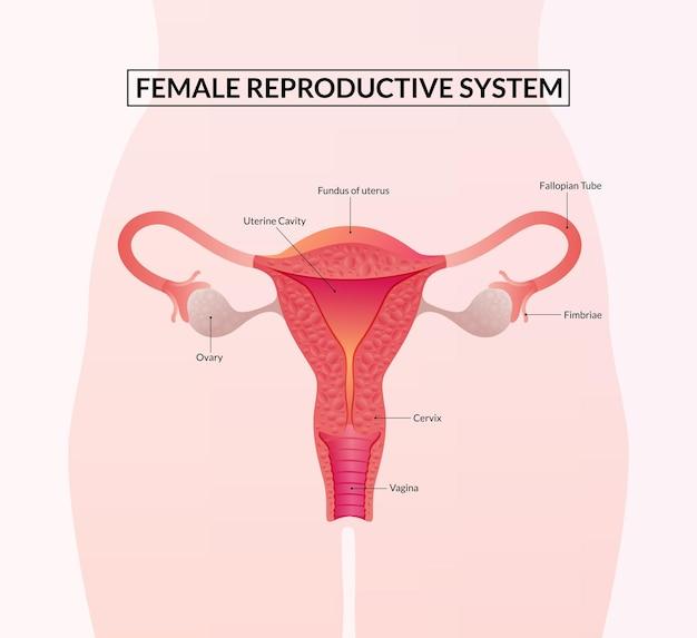 Illustratie van vrouwelijk voortplantingssysteem menselijke anatomie
