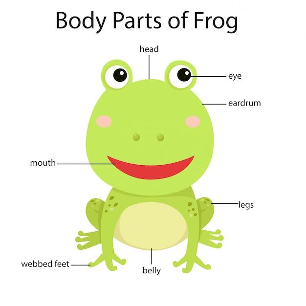 Illustrator van lichaamsdelen van kikker