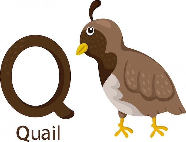 Illustrator van q met kwartel