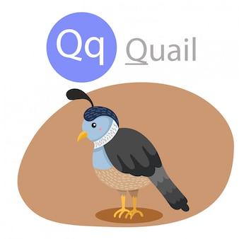 Illustrator van q voor kwartel dier