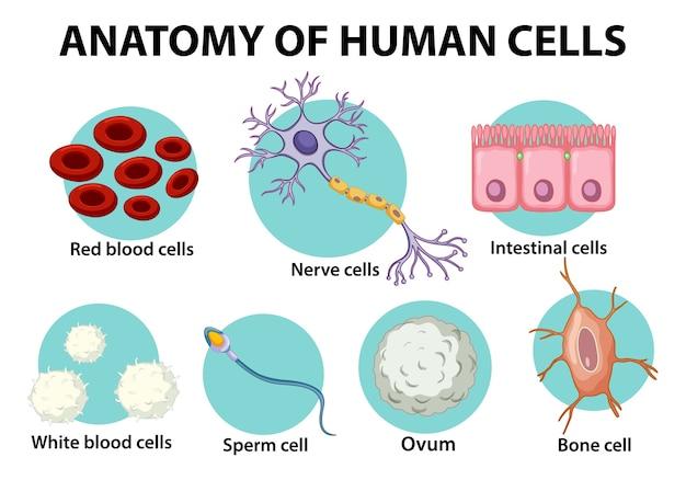 Informatieposter over menselijke cellen