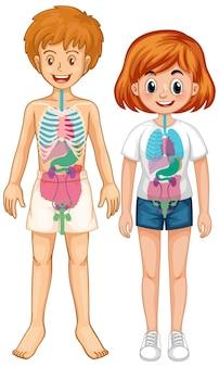 Intern orgaan van het lichaam diagram