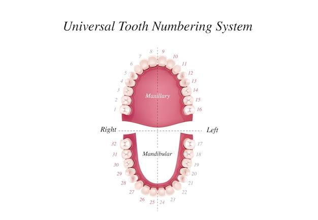 Internationale tandnummeringstabel voor volwassenen. universeel nummeringssysteem