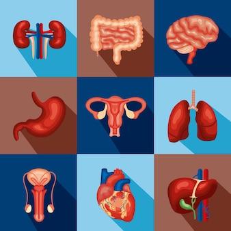 Interne menselijke organen ingesteld