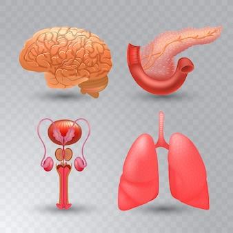 Interne organen realistische pictogrammenset in realistische stijl.