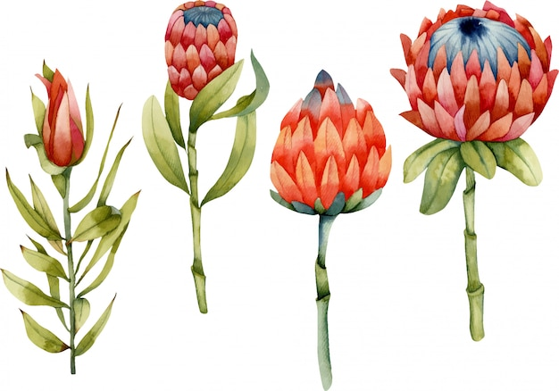 Inzameling van geïsoleerde waterverf bloeiende protea