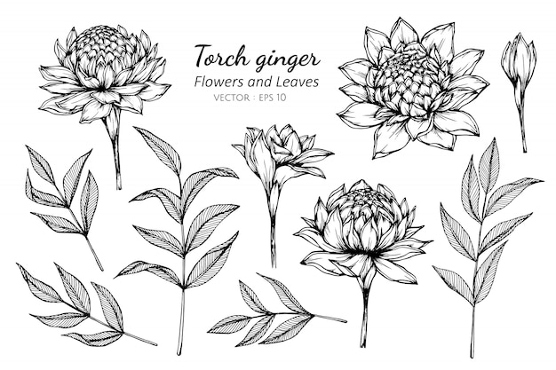 Inzamelingsreeks van de bloem en de bladeren die van de toortsgember illustratie trekken.