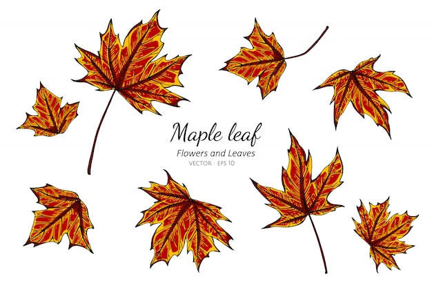 Inzamelingsreeks van esdoornbladeren die illustratie trekken.