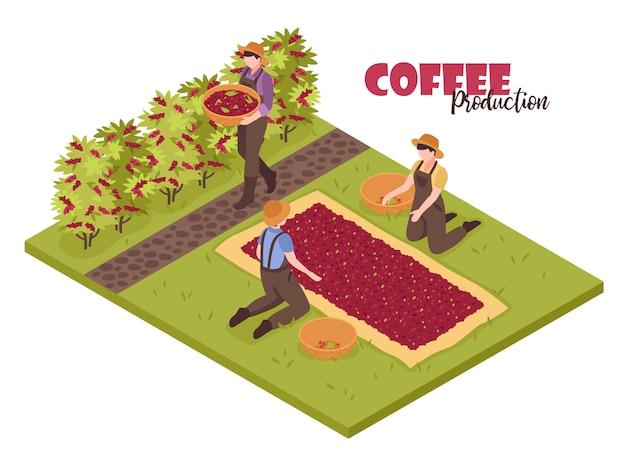 Isometrische koffieproductie wit met plantenstruiken en mensen die bonen verzamelen met bewerkbare sierlijke tekst