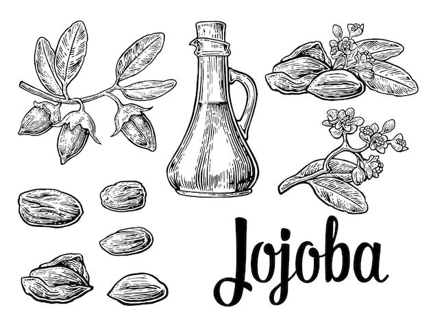 Jojoba-fruit met glazen pot. hand getekend vintage gegraveerde illustratie.