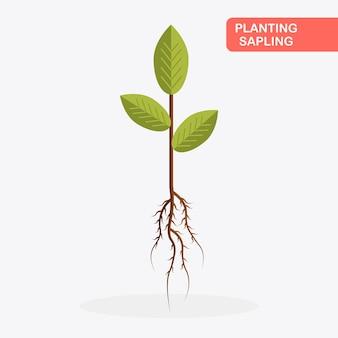 Jonge boom met wortels, bladeren op witte achtergrond. jong boompje klaar om te planten tuinieren, landbouw