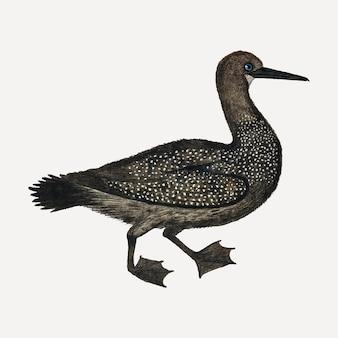 Kaapse aalscholver vector antieke aquarel dierlijke illustratie, geremixt uit de kunstwerken van robert jacob gordon