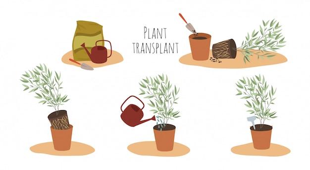 Kamerplanten in potten in verschillende stadia van transplantatie. transplantatiemethode.