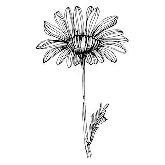Kamille met de hand tekenen. daisy wiel bloemen in lijn kunst stijl concept. antieke vintage gravure illustratie.