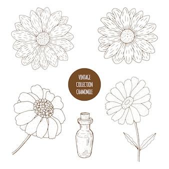 Kamille. vector hand getrokken set van cosmetische planten geïsoleerd. etherische oliën componenten illustratie. ingrediënten voor aromatherapie. schets collectie van natuurlijke bloemen elementen.