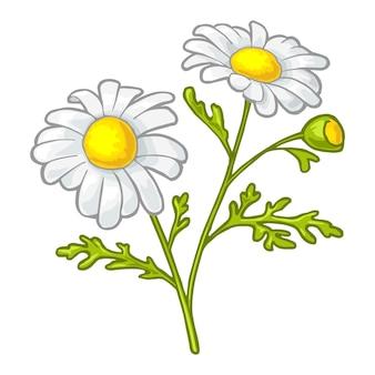 Kamillebloem met bladeren. kleur vintage vectorillustratie geïsoleerd op een witte achtergrond.