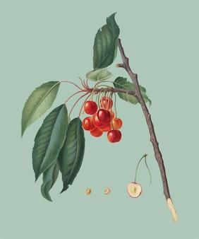 Kers van de illustratie van pomona italiana