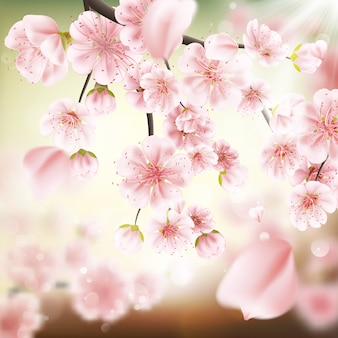 Kersenbloesem, sakura bloemen.