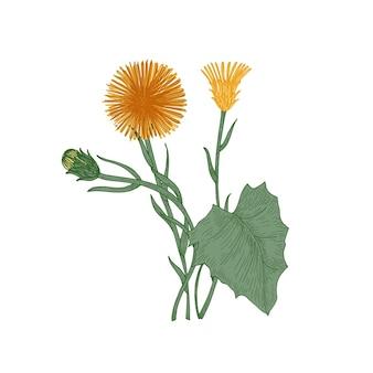 Klein hoefblad bloemen, knoppen en bladeren geïsoleerd op een witte achtergrond.
