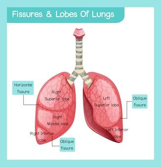 Kloven en lobben van longen