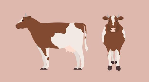 Koe geïsoleerd op lichte achtergrond. bundel portretten van schattige binnenlandse herbivoor dieren, rundvlees of melkvee, landbouwhuisdieren. voor- en zijaanzicht. platte cartoon kleurrijke vectorillustratie.