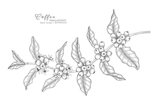 Koffie bloem en blad hand getekende botanische illustratie met lijntekeningen.
