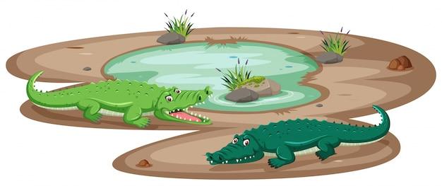 Krokodil bij de vijver