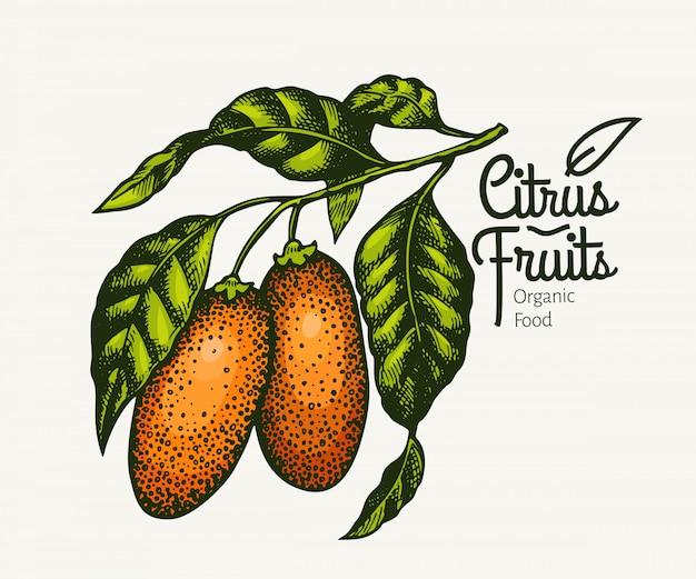 Kumquat tak illustratie. hand getekend vector fruit illustratie. gegraveerde stijl. retro illustratie van de fortunellacitrusvrucht.