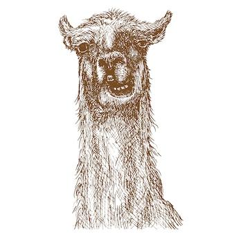 Lama gravure tekening dierlijke illustratie
