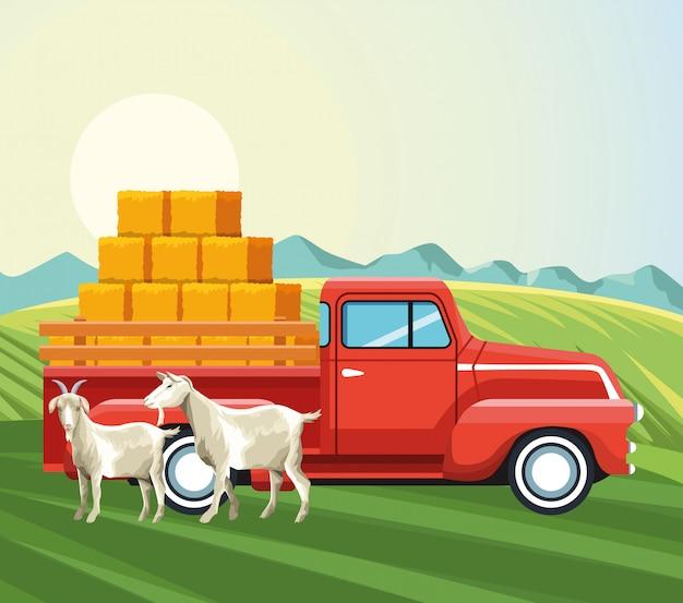 Landbouw geiten en pick-up truck met balen hooi