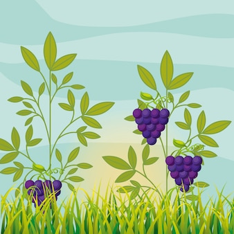 Landbouw wijngaard met rijpe druiven