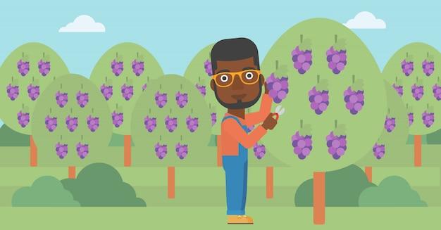 Landbouwer die druiven verzamelt