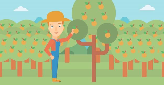 Landbouwer die sinaasappelen verzamelt